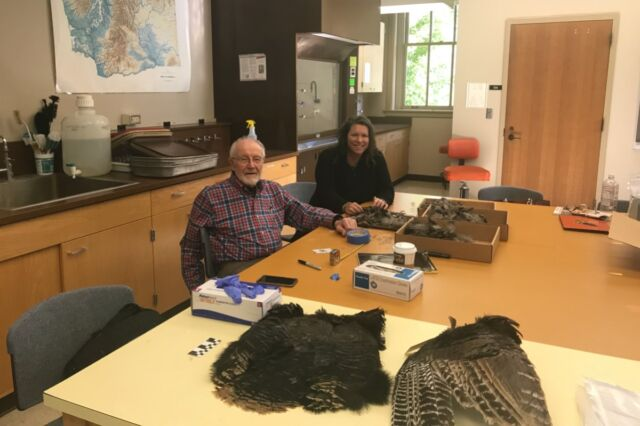 Bill Lipe and Shannon Tushingham collect feathers from a wild-turkey pelt in Tushingham's lab at Washington State University in Pullman, Washington.