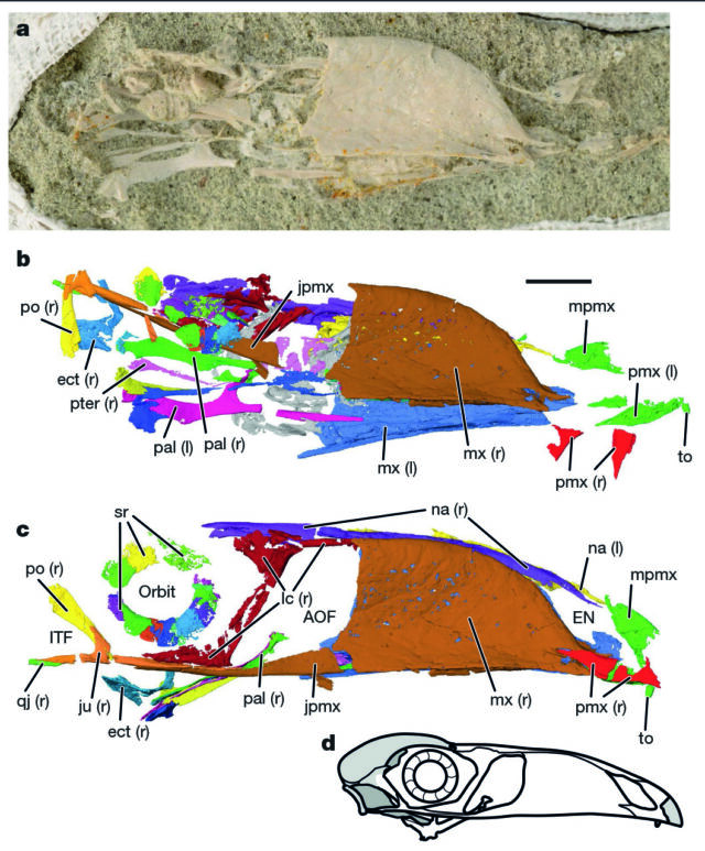The fossil (a), identifications of each structure (b), and those structures laid out in their likely positions (c).